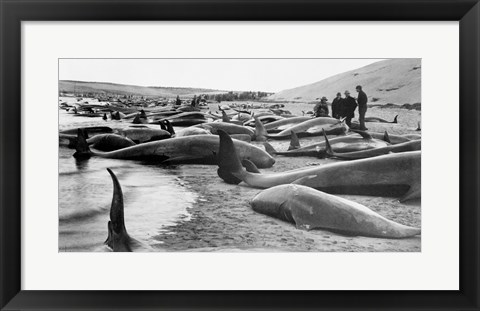 Framed Chase and capture of blackfish cape cod Print