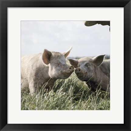 Framed Happy Pigs Print