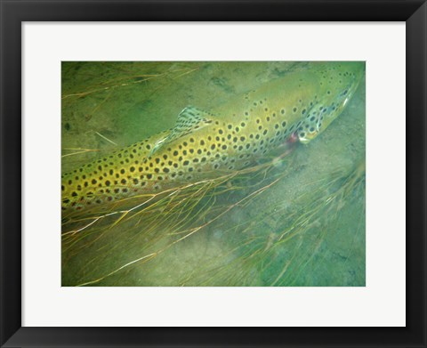 Framed Madison River Brown Trout Print