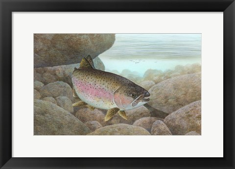 Framed Rainbow trout - swimming Print