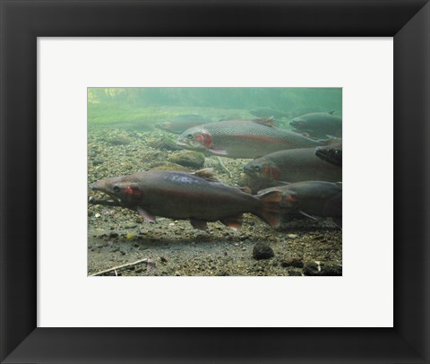 Framed Rainbow trout - photo Print