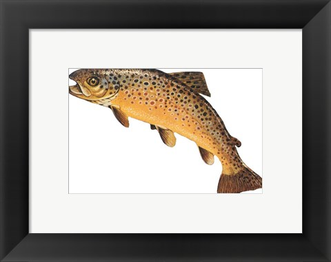 Framed Salmo Trutta Print