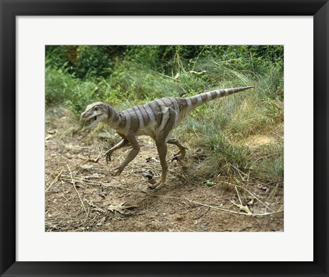 Framed High angle view of a dromaeosaurus walking in a forest Print