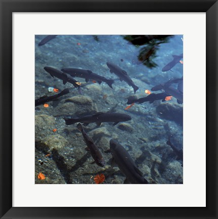 Framed Trout - under water Print