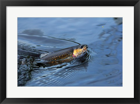 Framed Close-up of a Brook trout (Salvelinus fontinalis) on a fishing line Print