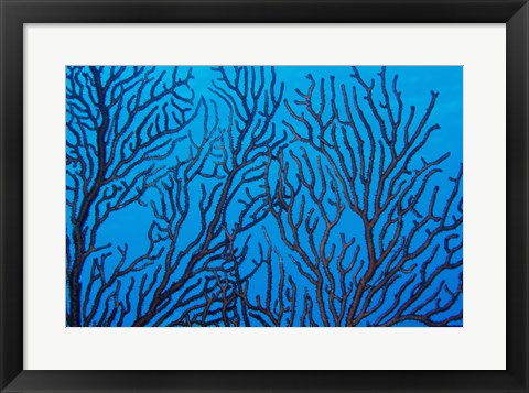 Framed Sea Fan on a Reef, Belize Print