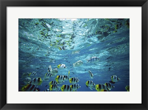 Framed Tropical Fish  Bora Bora  French Polynesia Print
