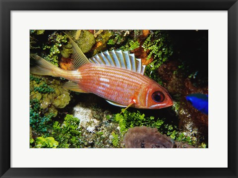 Framed Squirrel fish, Cozumel, Mexico Print
