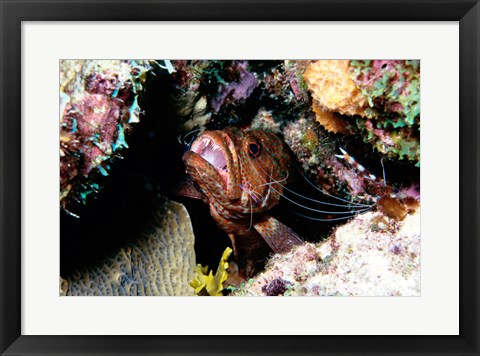 Framed Close-up of a grouper fish hiding, Bonaire, Netherlands Antilles Print
