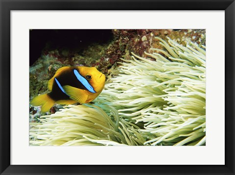 Framed Close-up of a Two-banded Clown fish swimming underwater, Nananu-I-Ra Island, Fiji Print