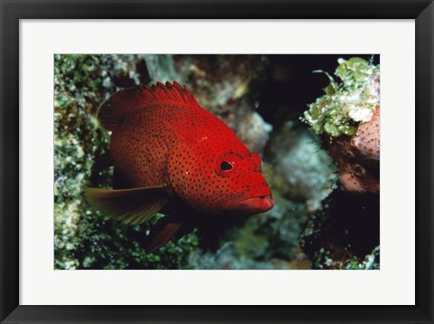 Framed Close-up of a coney fish swimming underwater, Cozumel, Mexico Print
