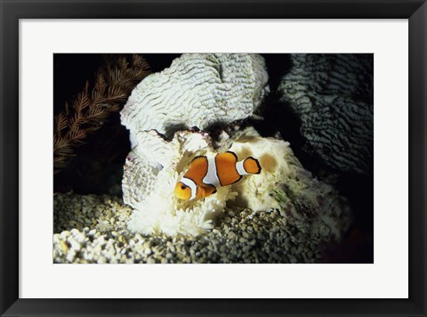 Framed Clown Fish and an Anemone Print