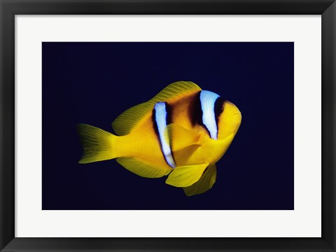 Framed Close-up of a Clown Fish swimming Print