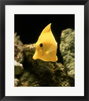 Framed Yellow Tang Print