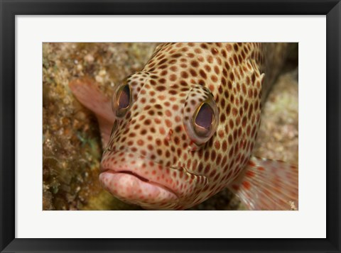 Framed Red Hind Fish Print