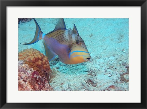 Framed Queen Triggerfish Print