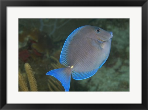 Blue tang fish photograph by unknown at for Blue tang fish price