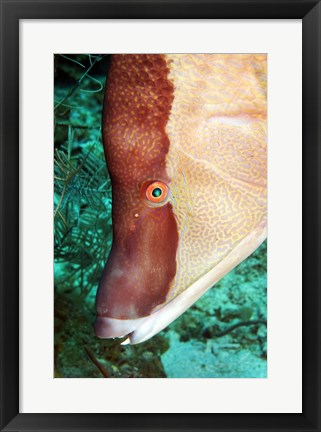 Framed Spanish Hogfish Print