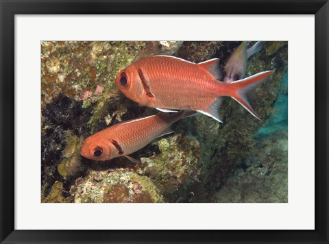Framed Blackbar Soldierfish Print