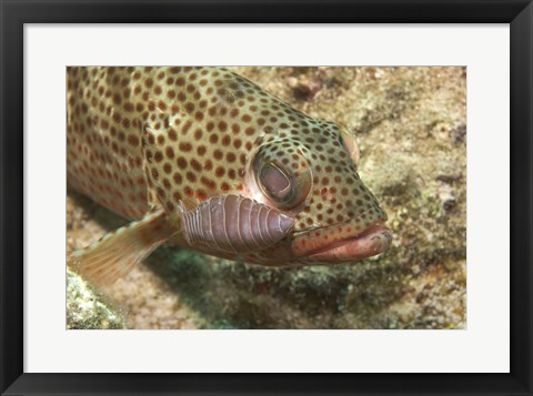Framed Red Hind Fish with spots Print
