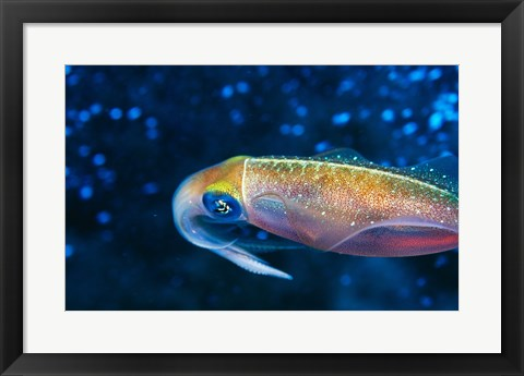 Framed Close-up of a squid swimming underwater Print