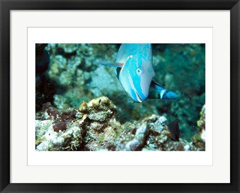 Framed Close-up of a Stoplight Parrotfish swimming underwater Print