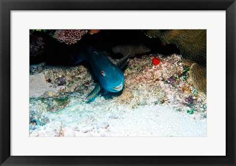 Framed Close-up of a parrotfish swimming underwater Print