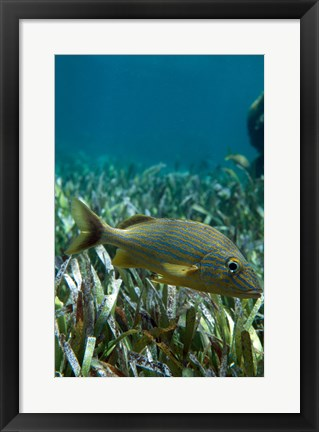 Framed Side profile of a Blue Striped Grunt swimming underwater Print