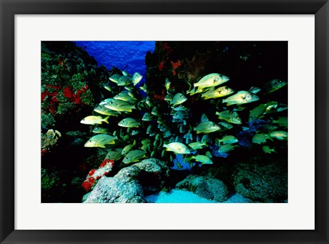 Framed School of Blue Striped Grunts swimming underwater, Cozumel, Mexico Print