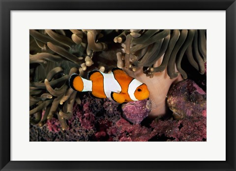 Framed Percula Clownfish swimming near sea anemones underwater Print
