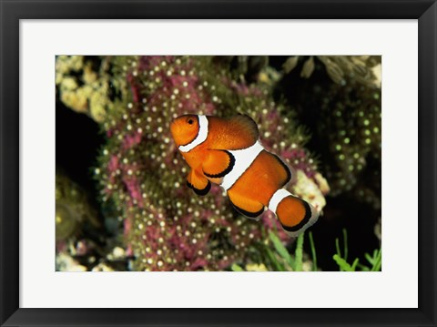 Framed Percula Clownfish Print