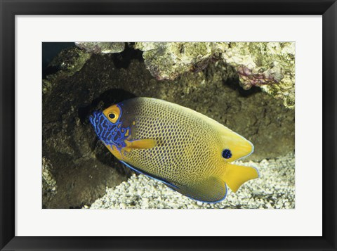 Framed Blue-Faced Angelfish Print