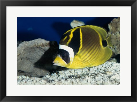 Framed Close-up of a Raccoon Butterfly fish Print