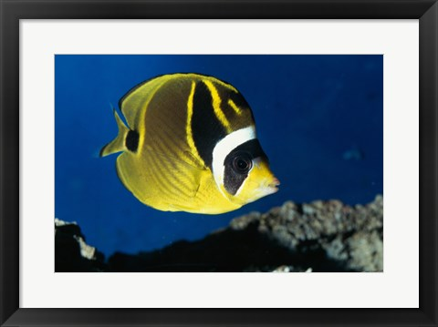 Framed Close-up of a Raccoon Butterfly Fish Swimming Print