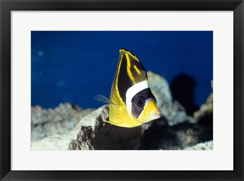Framed Close-up of a Raccoon Butterfly Fish In Ocean Print