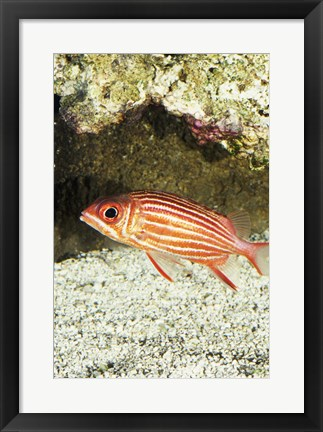 Framed Close-up of a Squirrelfish Print