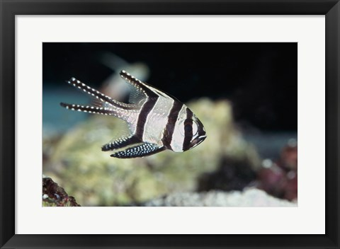Framed Close-up of a Banggai Cardinalfish Print