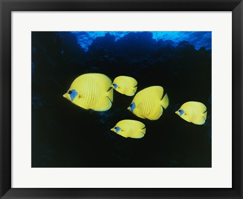 Framed Close-up of five Lemon Butterflyfish swimming underwater Print