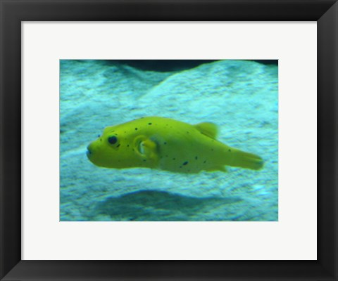 Framed Puffer Fish Print