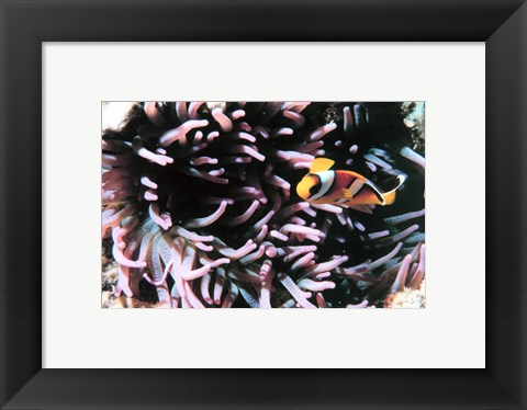 Framed Two banded clown fish Print