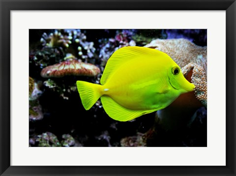 Framed YellowTang Print