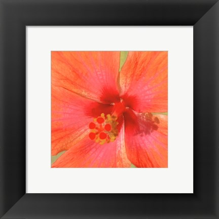 Framed New Hibiscus II Print