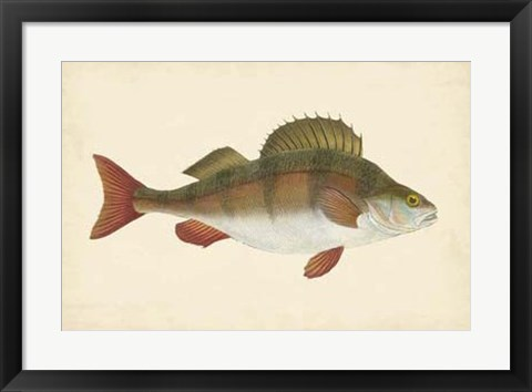 Framed Antique Fish I Print