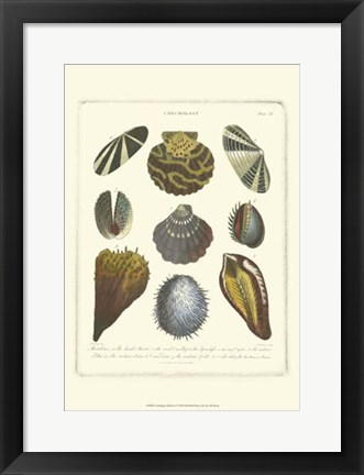 Framed Conchology Collection I Print