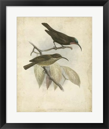 Framed Antique Gould Hummingbird I Print
