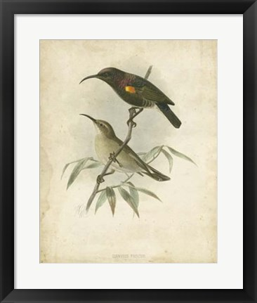 Framed Antique Gould Hummingbird II Print