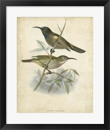 Framed Antique Gould Hummingbird IV Print