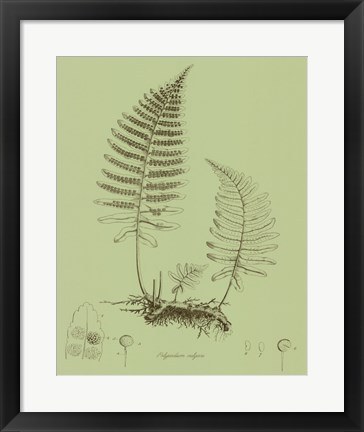 Framed Fresh Ferns II Print