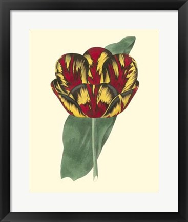 Framed Antique Tulip III Print