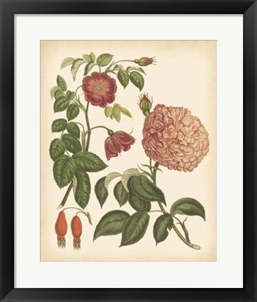 Framed Antique Rose IV Print